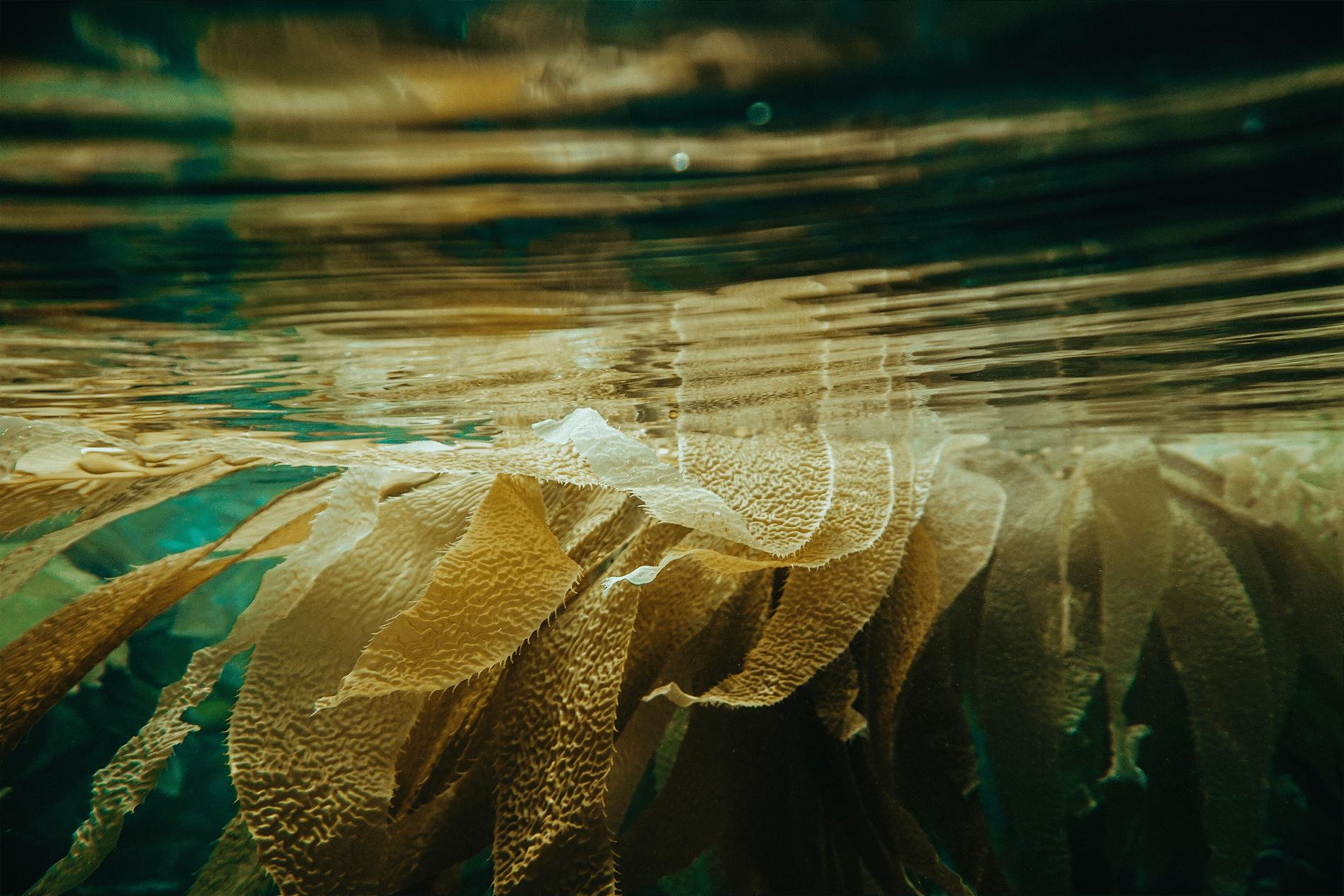 intérêts nutritionnels des algues